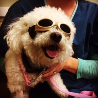 Biker dog? No! She's having laser therapy treatment to help heal her little knee.