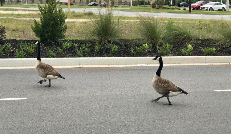 Geese at the mall