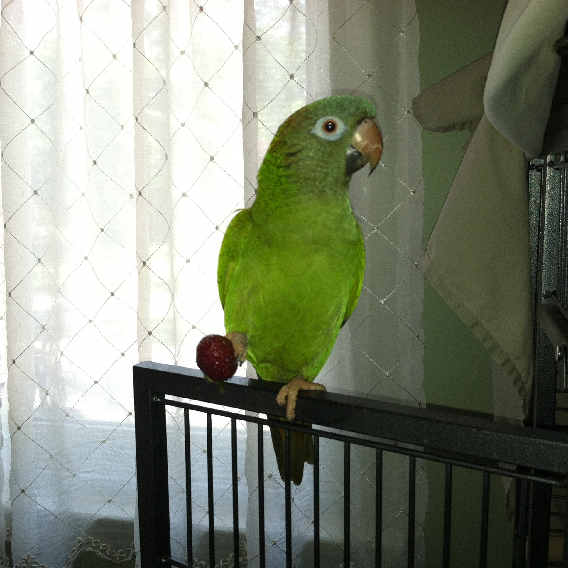 Louie, our blue crown conure