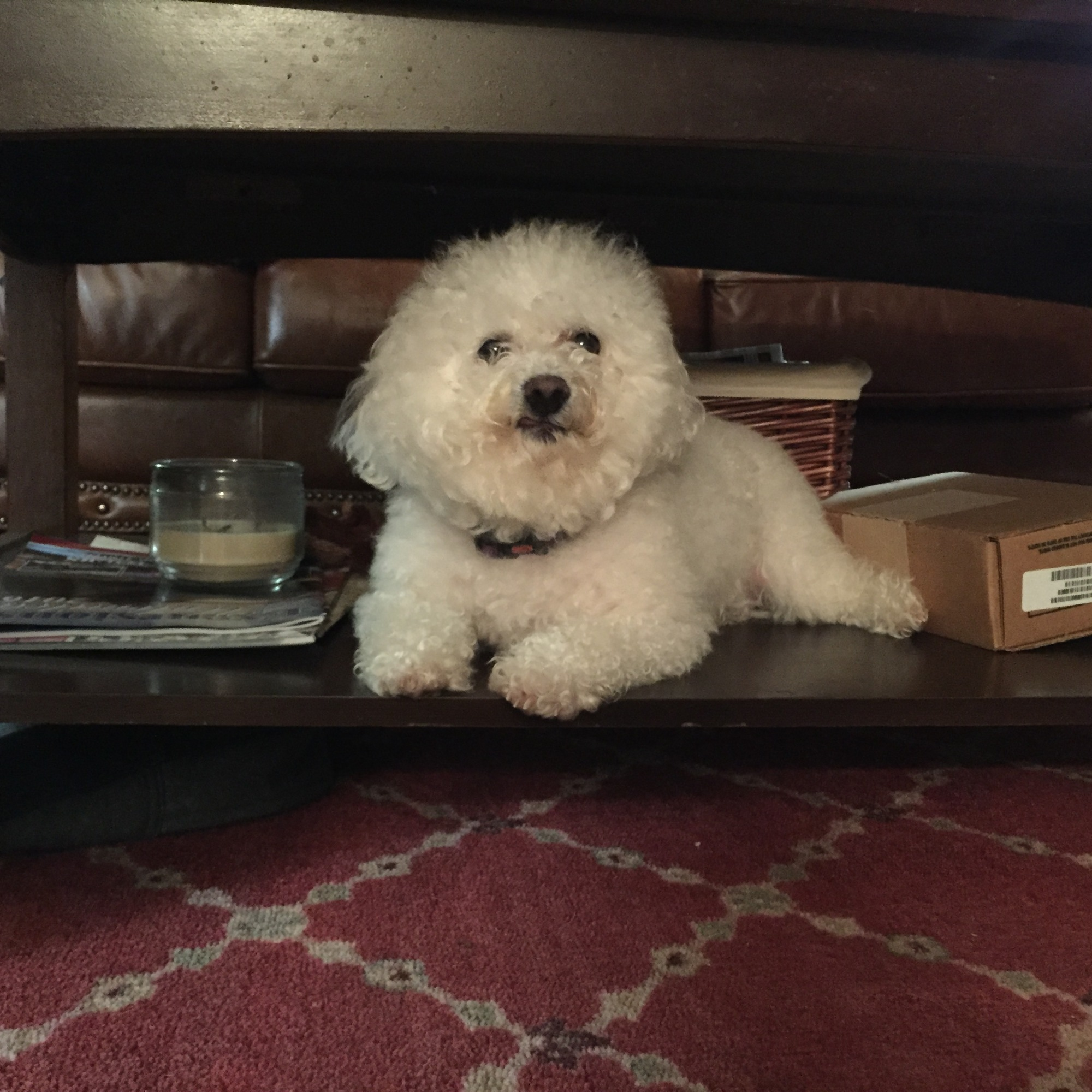 Lacy, our little bichon frise